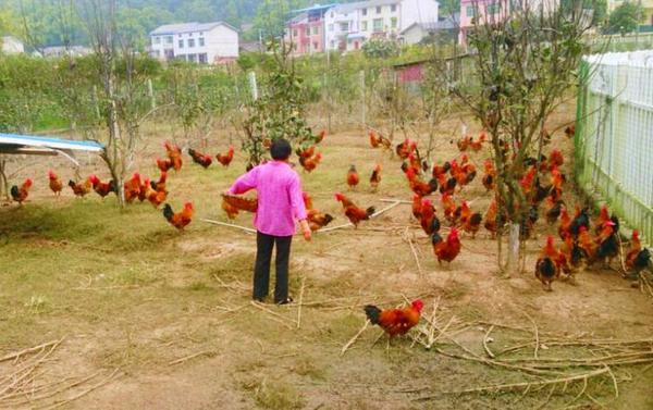 万鸿生态园自繁自养的绿色土鸡成群。